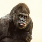 gorilla-448731_640