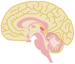 排尿のコントロールは脳で行われています