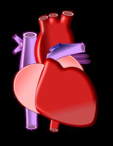 心臓の弁は重要な役割があります