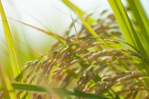 玄米から作った甘酒
