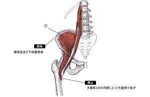 腸腰筋の中では最も深層に位置する筋肉です