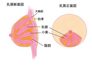 授乳中は乳腺炎になりやすい!