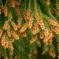 どうして花粉症になるの?花粉症の原因はスギのせい?