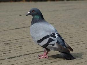 ペットの小鳥や公園のドバトにも注意