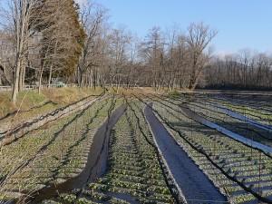 ワサビの生産農家では、ネットで販売を行っているところもあります