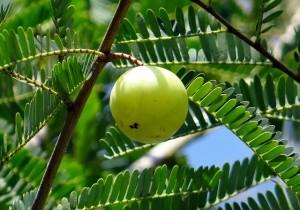アムラはインドでは若返りの果実と呼ばれるエイジングの定番