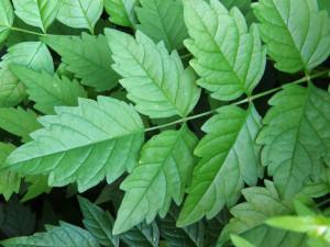 ハッカの葉