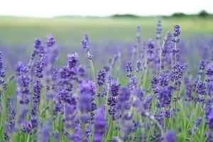 リラックス効果のある香りとして最も有名なのがラベンダーの香り
