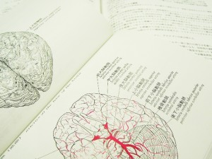 構造からわかる女性脳と男性脳の違い